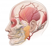 Arteries and Parotid Gland in Relation to Skull Structures and Muscles
